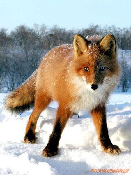 Лисица широко распространенный и