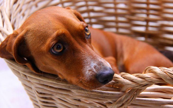 Собака в корзине