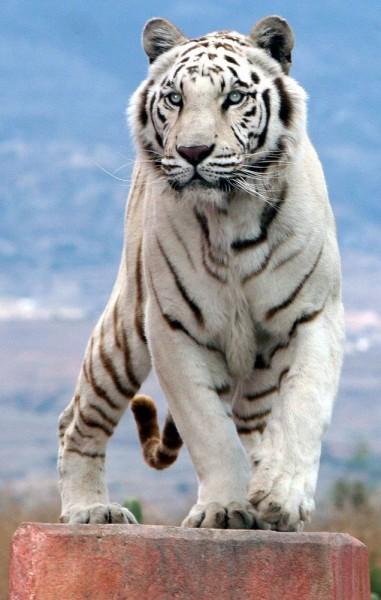 «Белый Тигр» — 2012