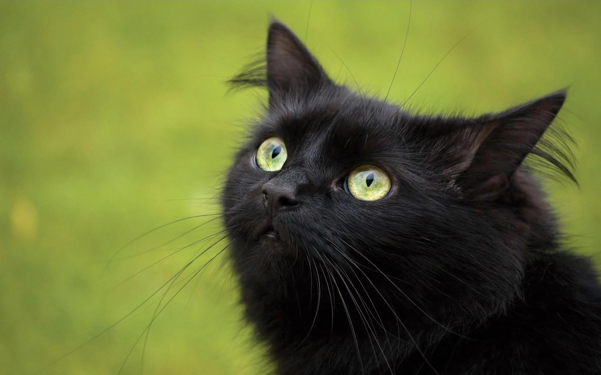 Сонник злой котенок - b