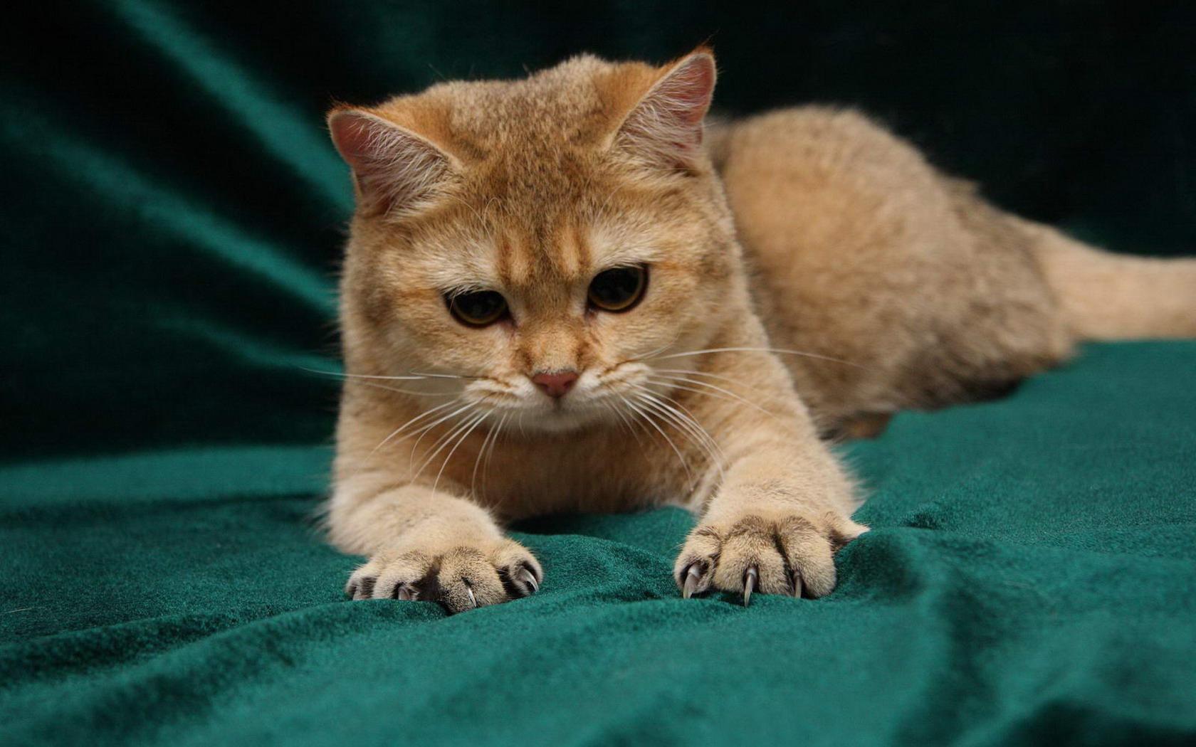Сонник злой котенок - 1a86
