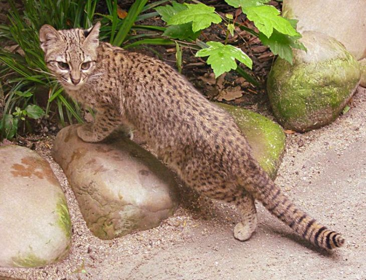 Красивые дикие кошки