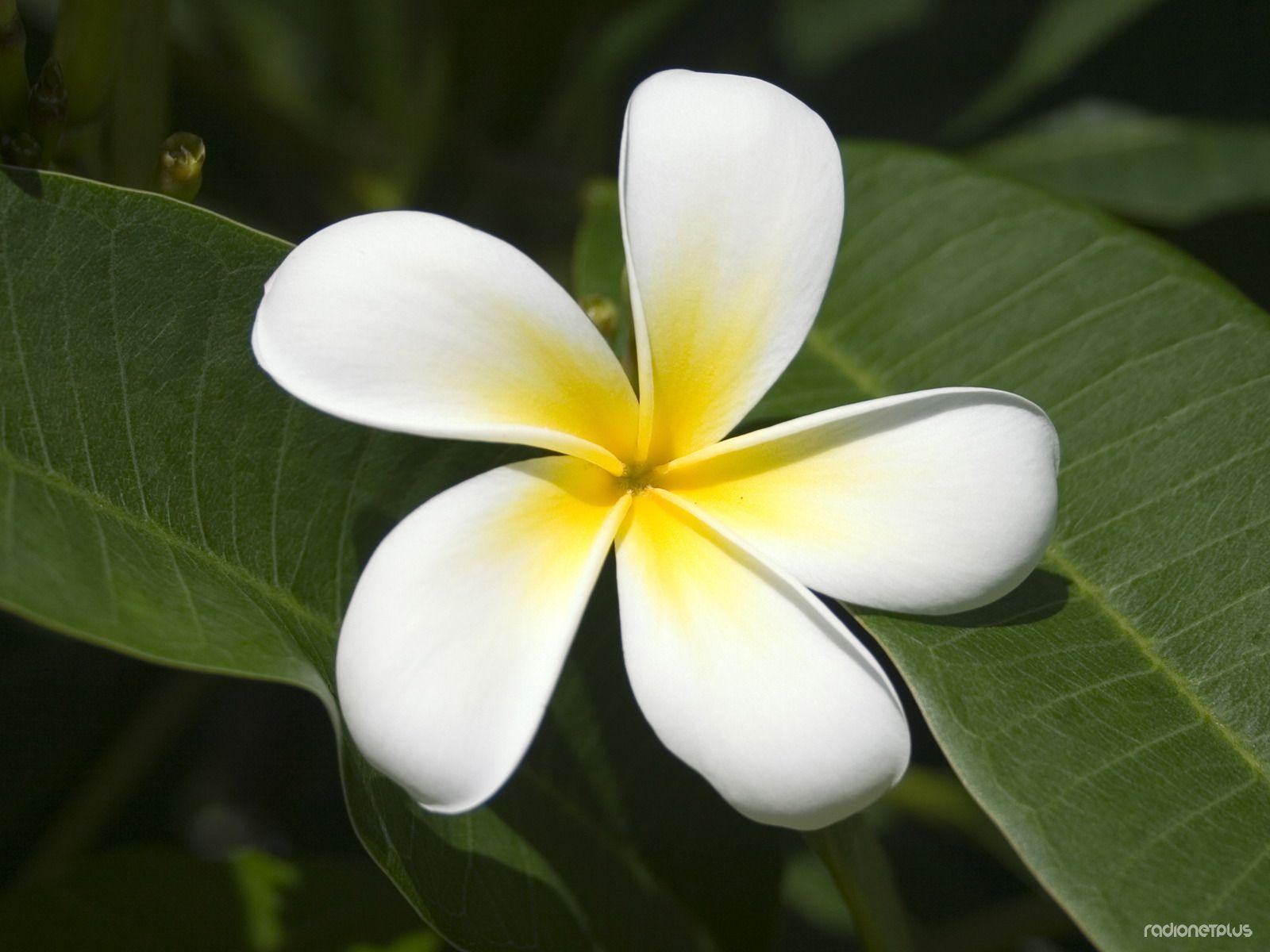 Flowering P6.