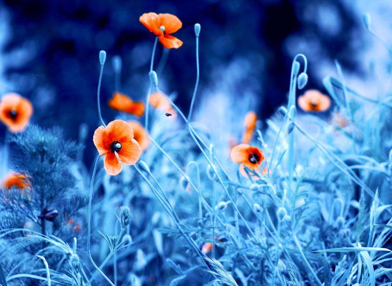 Цветы барбары флорчик
