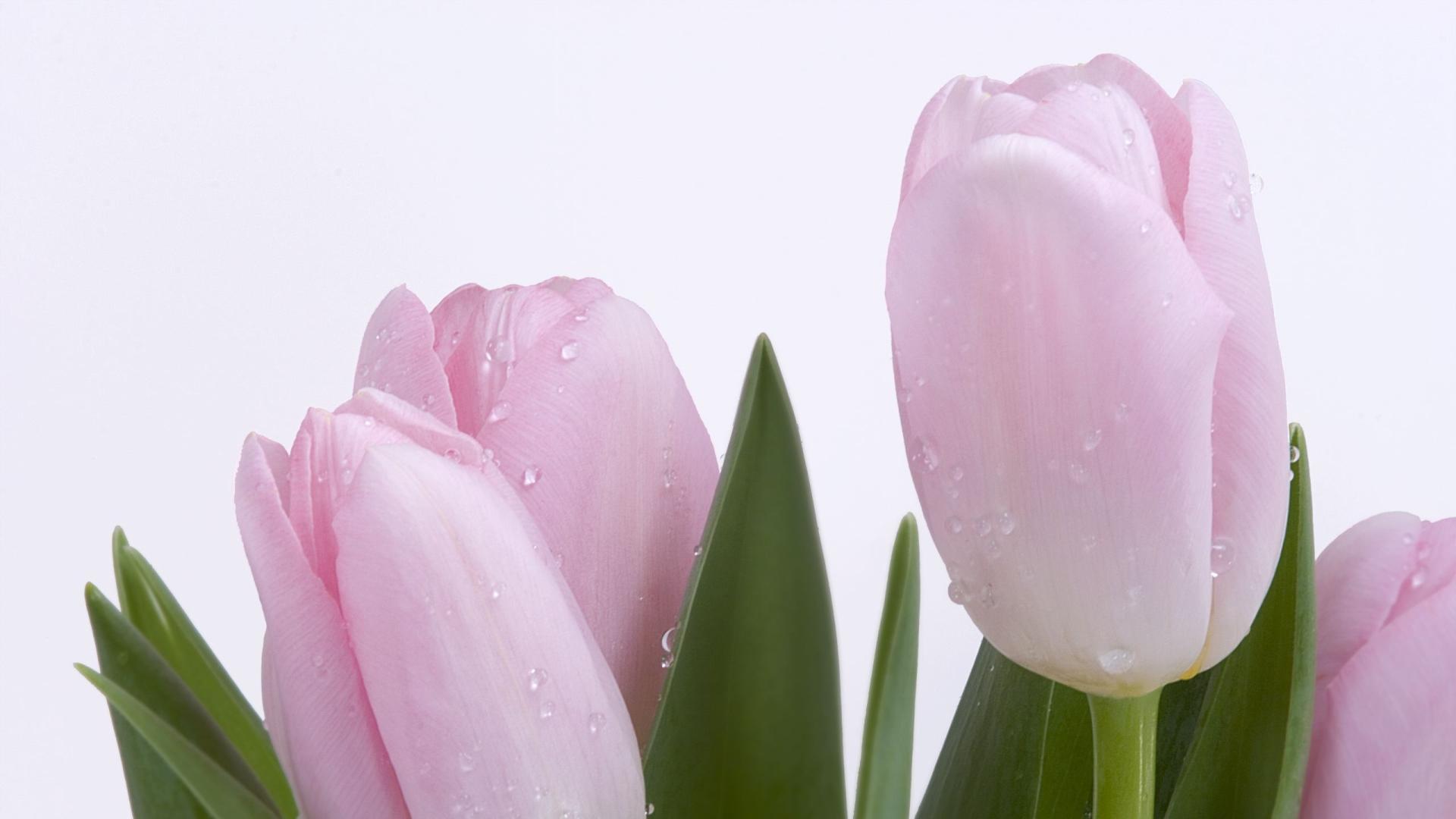 Обои на рабочий стол тюльпаны широкоформатные