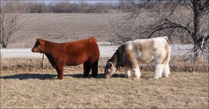 Плюшевые коровы на ферме Айовы (9 фото)