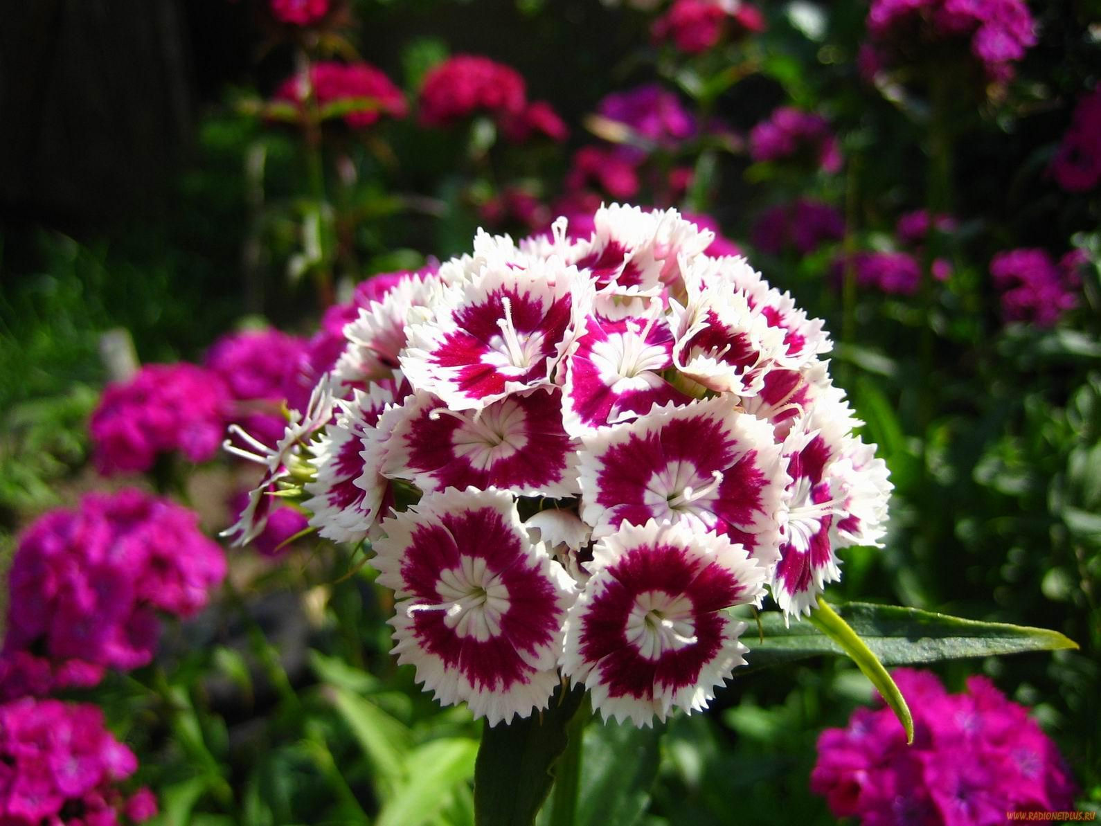 Цветок цветёт с июля