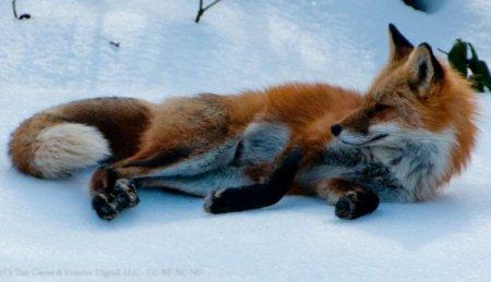 смешная фото лисичка