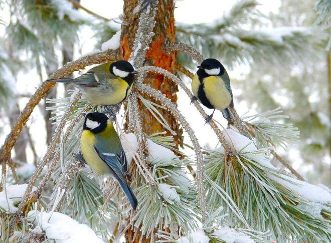 Зимние синицы