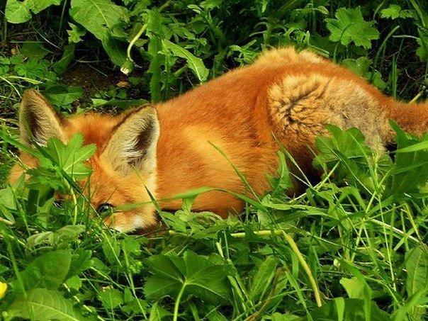 Лисица спряталась