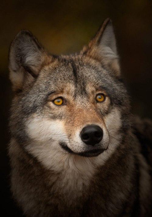 Волк с желтыми глазами
