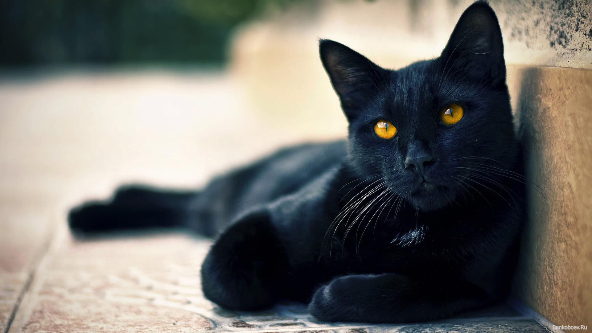 Характер и окрас котов