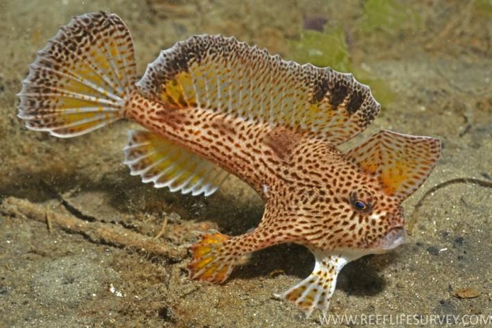 Рыбка с руками - Handfish (текст + фото)