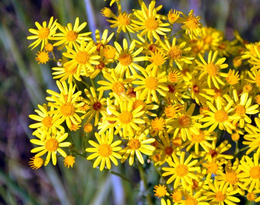 названия и фото цветов луговых