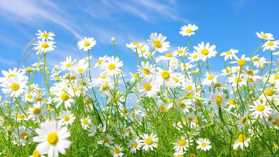 Картинки-луговые цветы