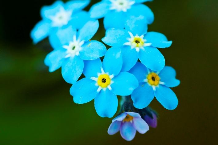 Картинки по запросу картинки цветов незабудок