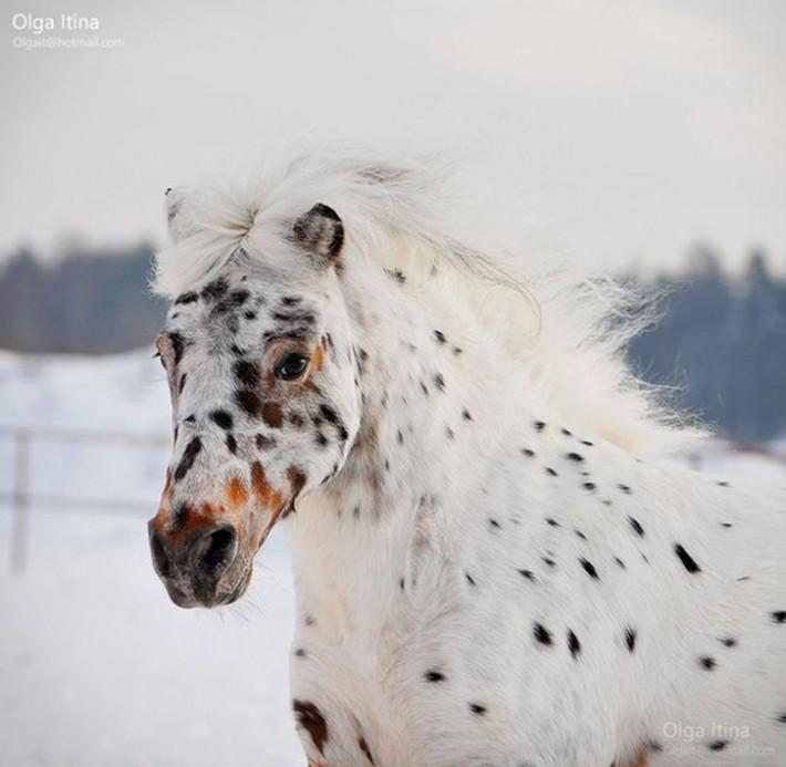 Красота лошади в фотографиях Olga Itina (31 фото)