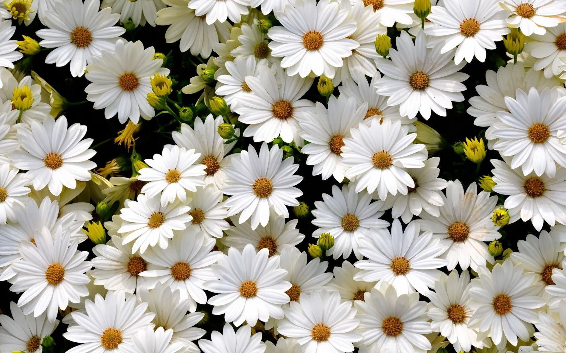 полевые цветы фото красивые