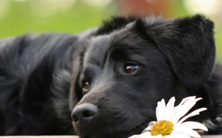 Черная собака и ромашка