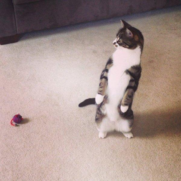 Коты эволюционируют