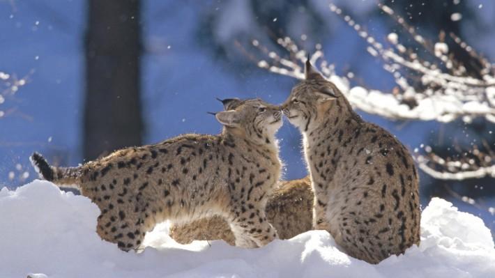 Зимние обои на рабочий стол рыси в зимнем лесу
