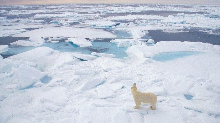 Зимние обои на рабочий стол белый медведь на льдине