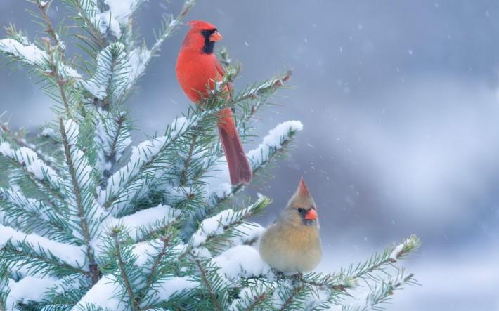 Зимние обои на рабочий стол птица кардинал на зимней еловой ветке