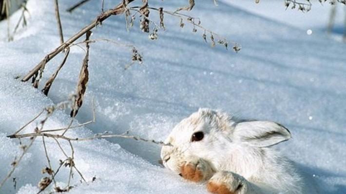 Зимние обои на рабочий стол заяц в зимнем лесу