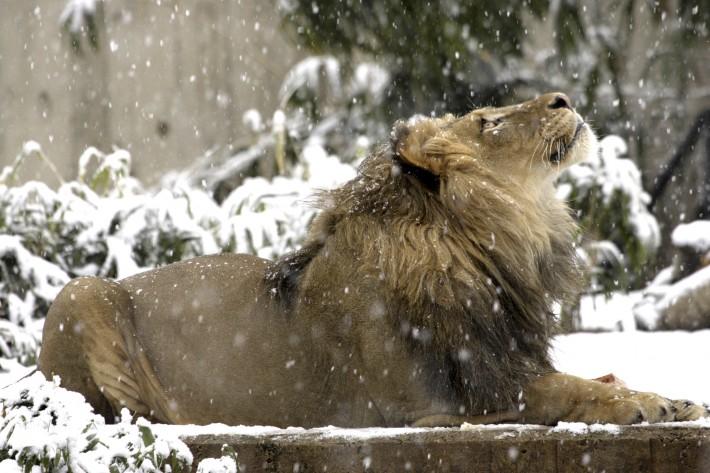 Зимние обои на рабочий стол лев в снегу