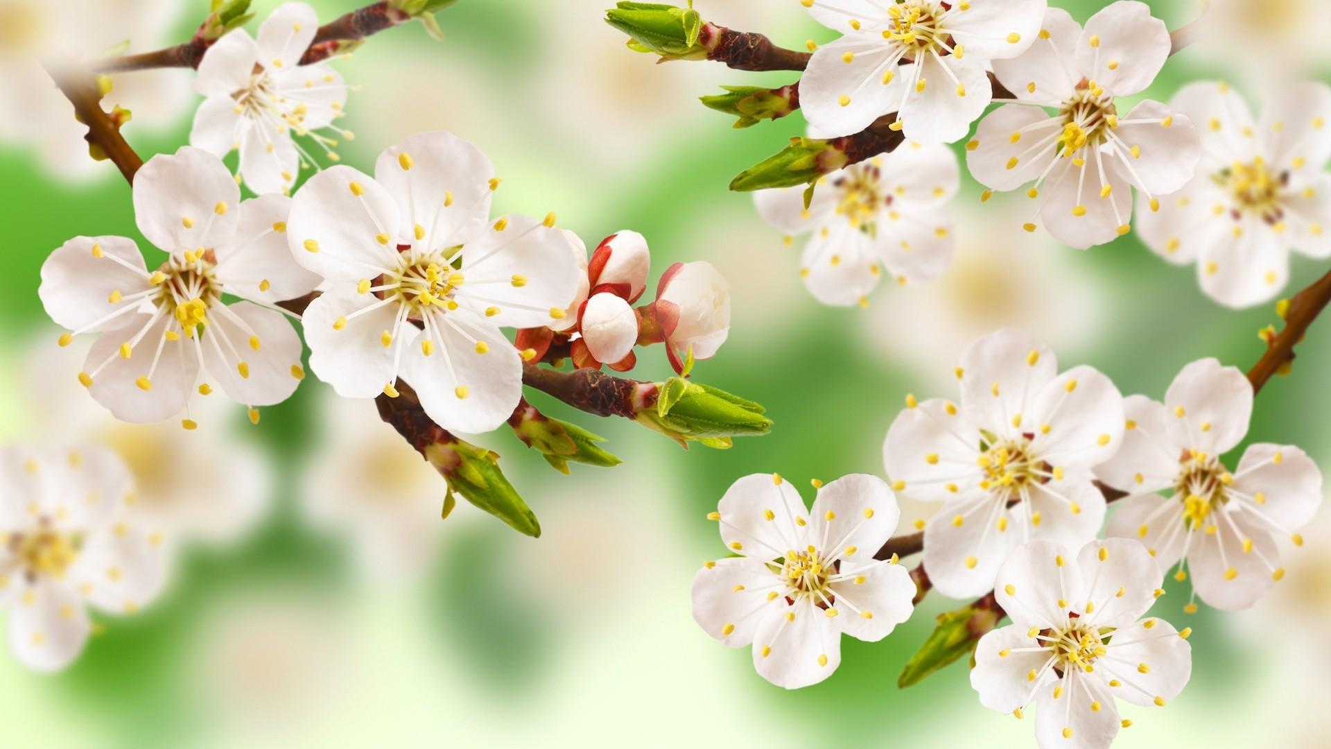 обои цветущие деревья для рабочего стола № 431692  скачать