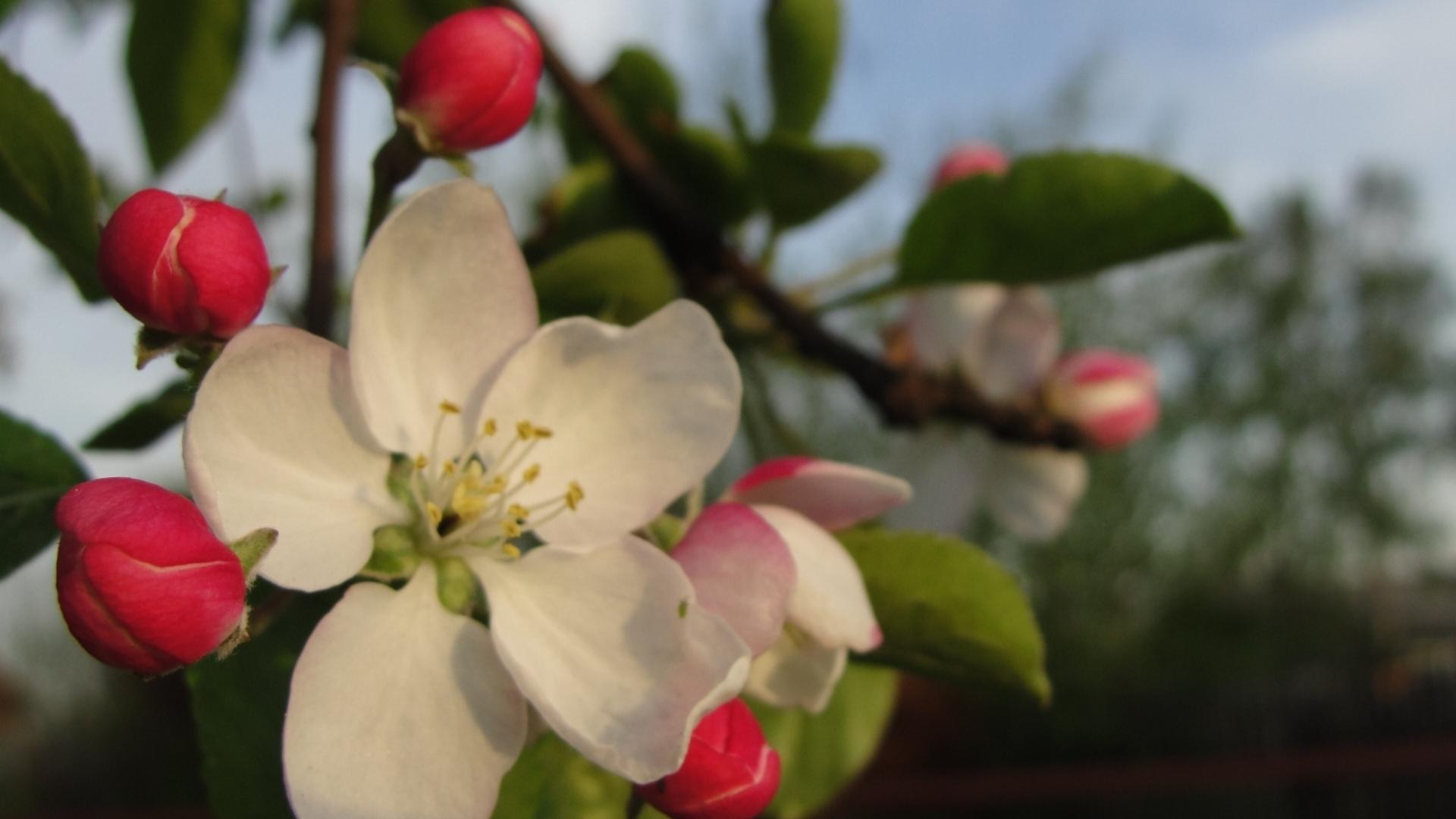 обои для рабочего стола цветущие яблони № 239686 бесплатно