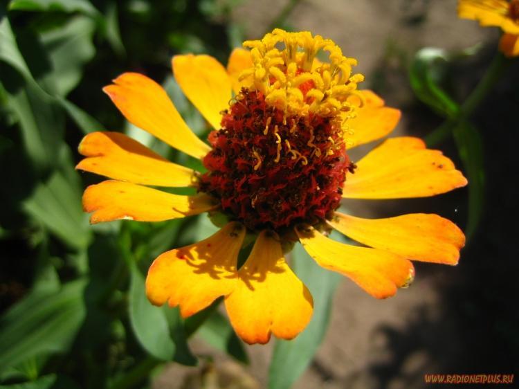 Дачные цветы 2
